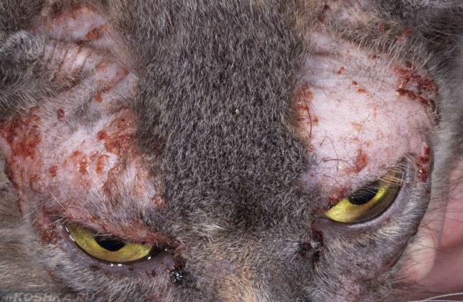 Пищевая аллергия у кошки
