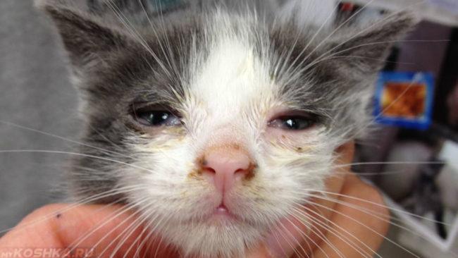Герпесвирусная инфекция у котёнка