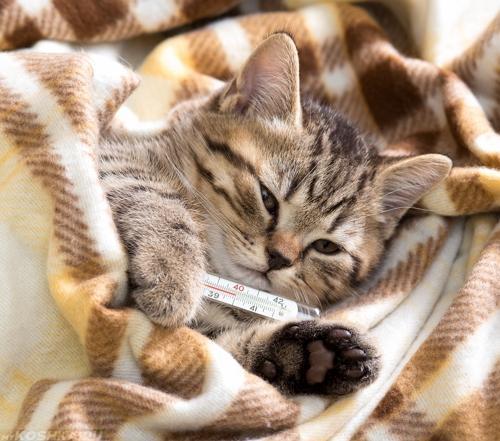 серая кошка более