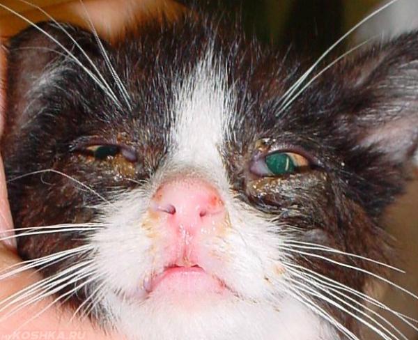 Герпес у кошки на глазах и чумка