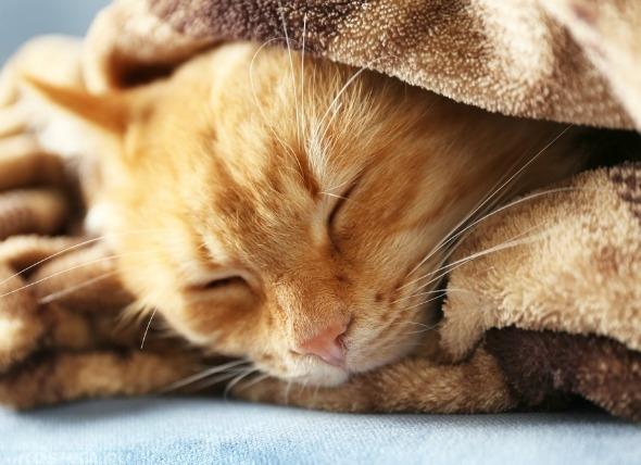 Кошка замёрзла и лежит под одеялом