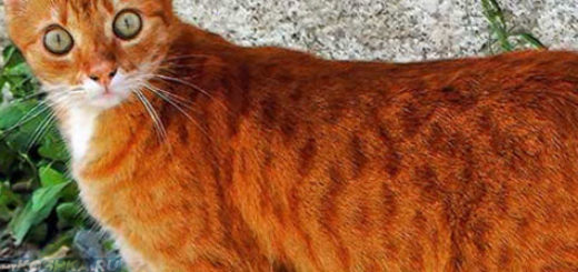 Худой рыжий кот