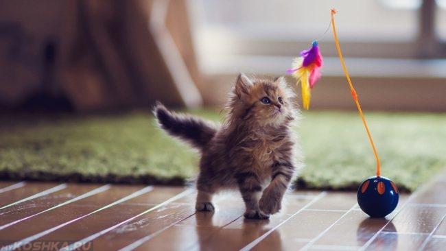 Маленький пушистый котенок играет