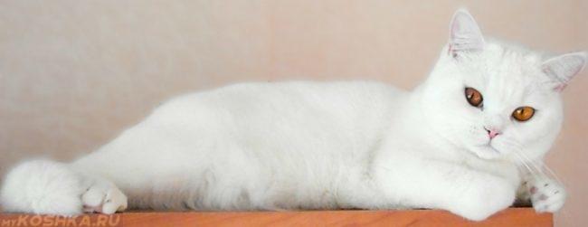 Чистая белая кошка лежит