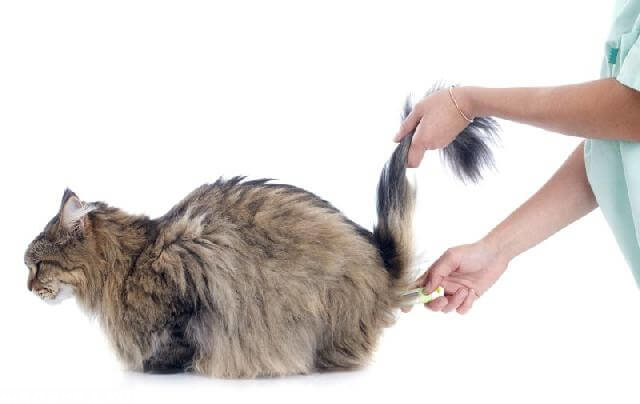 Измеренение температуры тела у кошки цифровым термометром