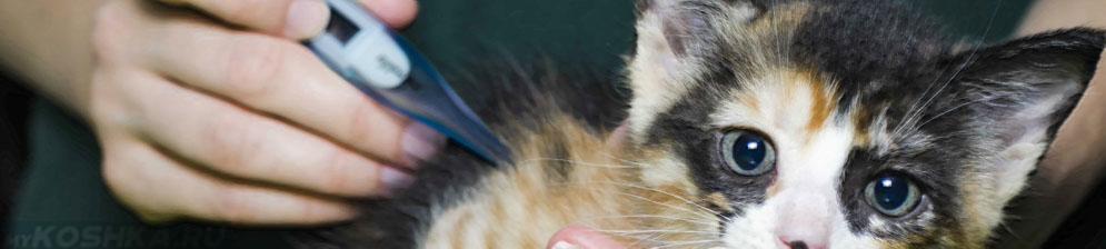 Измерение температуры у простуженного котёнка