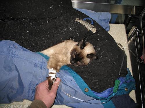 Капельница кошке страдающей от поноса