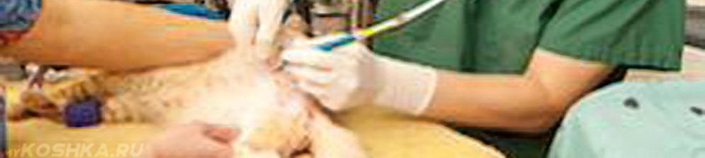 Операция по кастрированию кота
