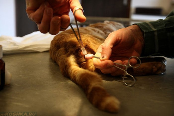 На каком месяце можно кастрировать кота