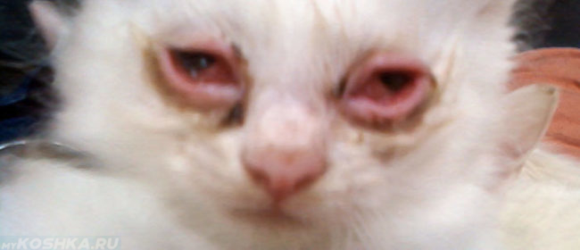 У котёнка два глаза страдают от конъюнктивита
