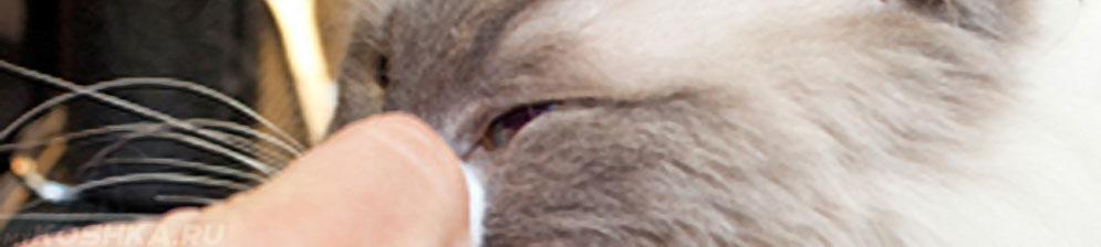 Диагностика глаз у кошки на предмет болезни конъюнктивитом
