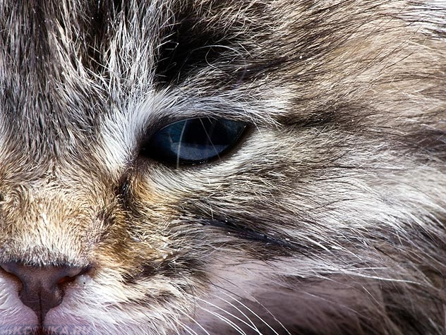 Конъюнктивит у кошки вблизи