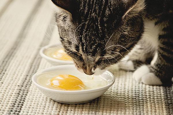 Кошка с удовольствием ест яичный желток