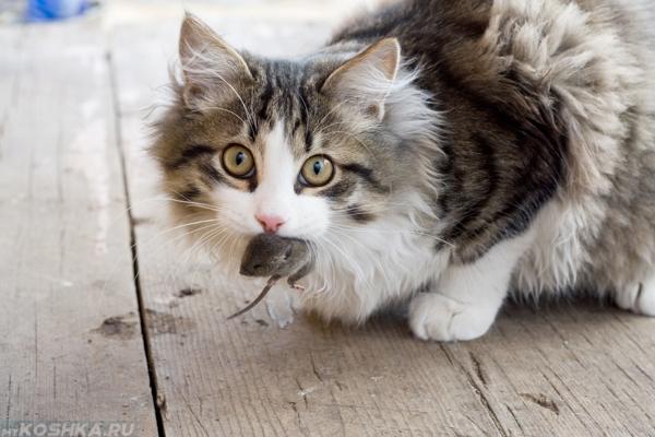 Кошка ест мышь пойманную на улице
