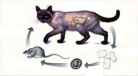 Как паразиты находят кота