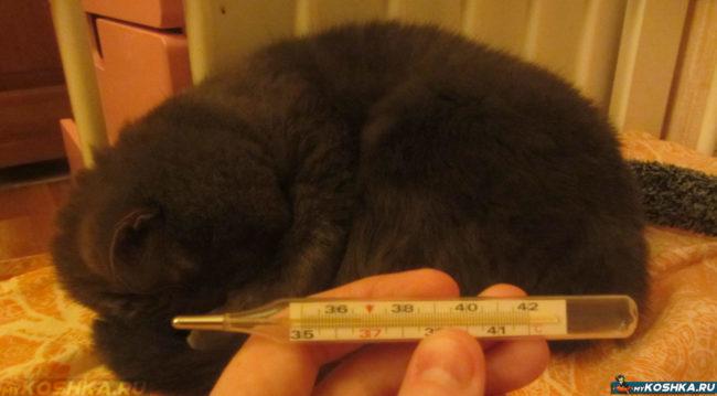 Измерение кошке температуры ртутным градусником
