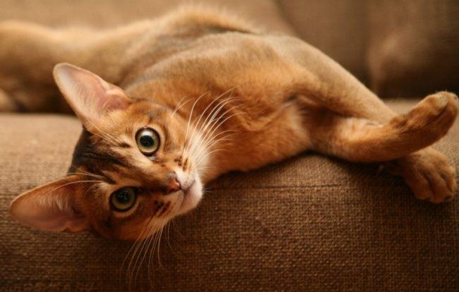 Кошка породы абиссинец лежит на коричневом диване