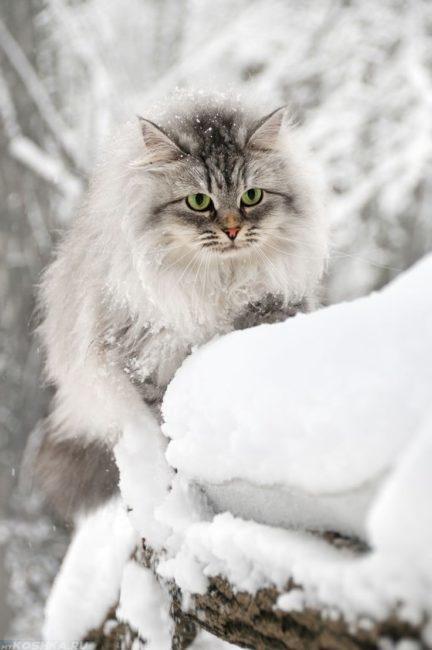 Серая пушистая кошка идёт по снегу при сильной отрицательной температуре