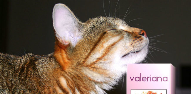 Кошка нюхает валерьянку до алкогольного отравления