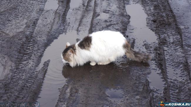 Кот пьёт воду из лужи