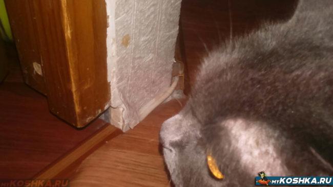 Британская кошка подрала обои на стене