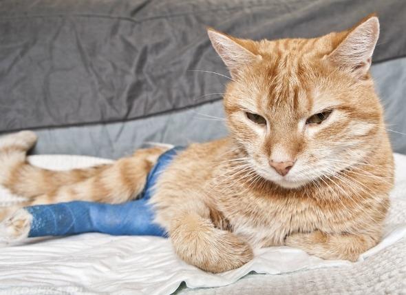 Кот с пораненной лапой лежит сурово на одеяле