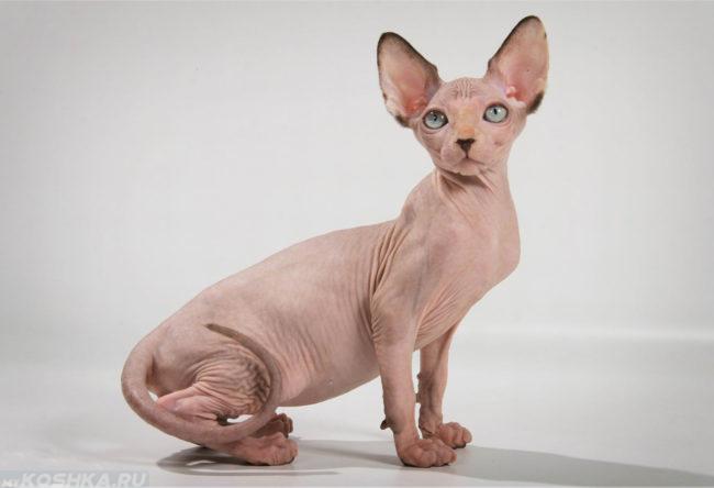Кошка с большими ушами породы сфинкс сидит поджав к себе хвост