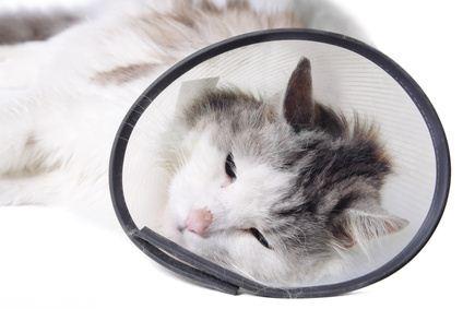 Кошка спит в воротнике после стерилизации