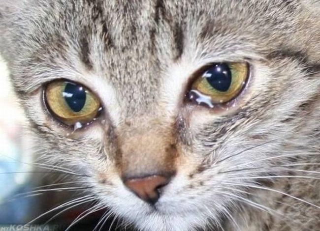 Слезотечение у кошки вблизи