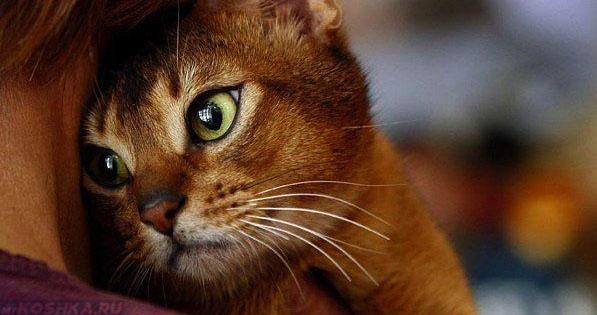 Слабая кошка на плече хозяина