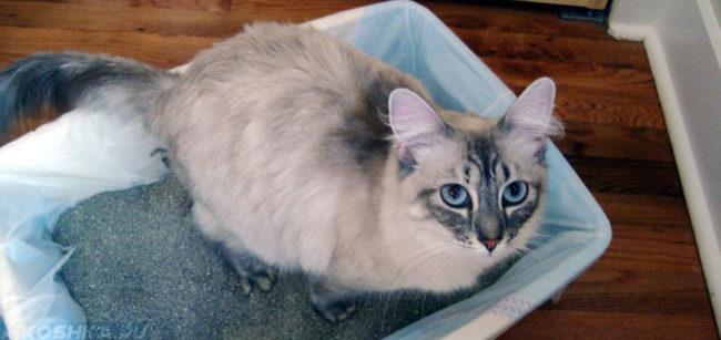 Кошка в лотке делает свои большие и маленькие дела