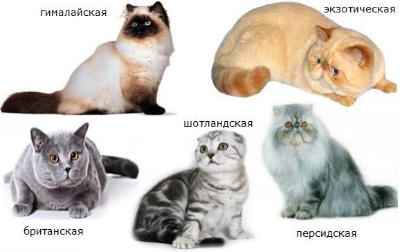 Кошки брахицефалы на картинке