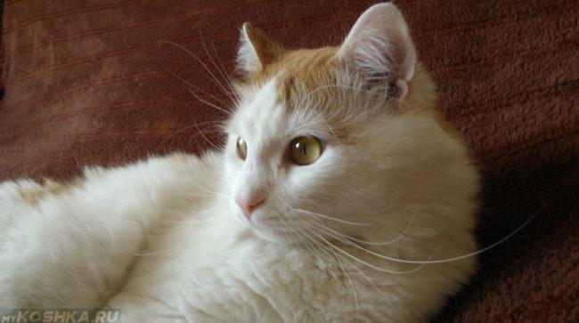 Кот в возрасте пяти лет