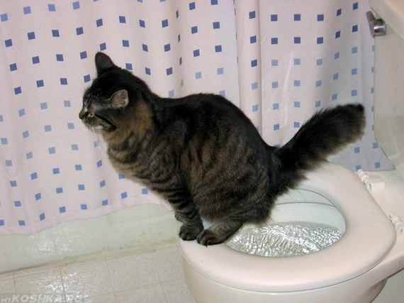 Приученный кот ходит на унитаз без кошачьего наполнителя