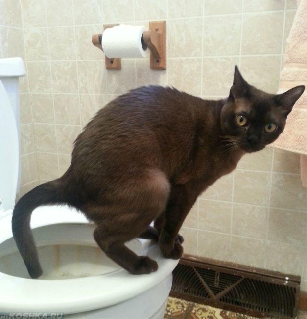 Кот ходит в туалет на унитаз