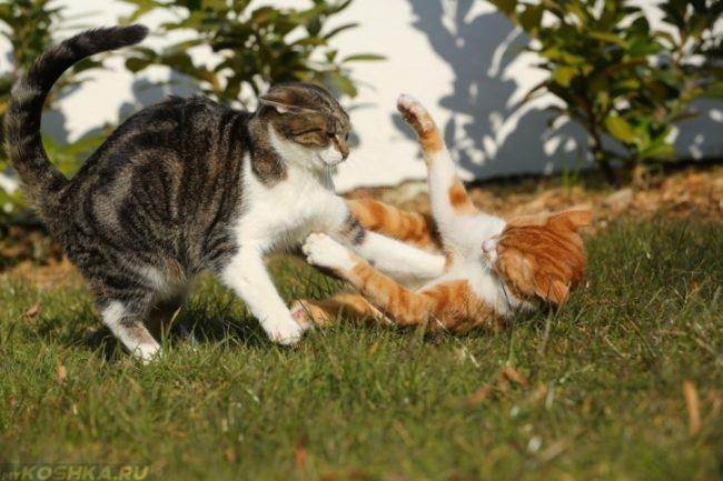 Серый кот дерется с рыжей кошкой на зеленой траве