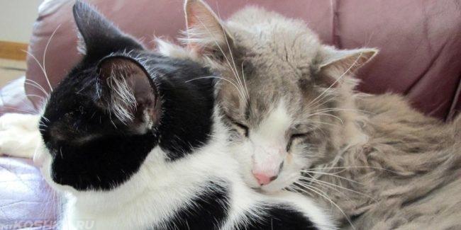 Серая пушистая кошка облокотилась головой на кота