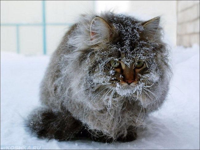 Замерзший пушистый серый кот сидит на снегу
