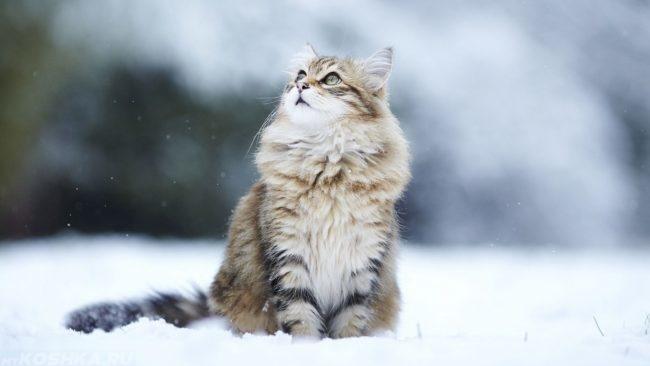 Серая пушистая кошка сидит на снегу и смотрит на падающие снежинки