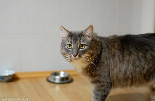 Кот просит есть возле пустой миски