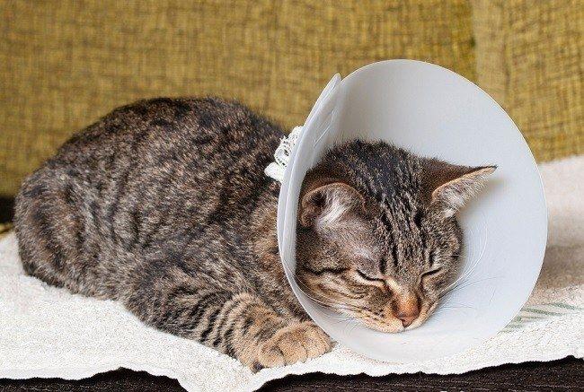 Кот после кастрации в воротнике на шее