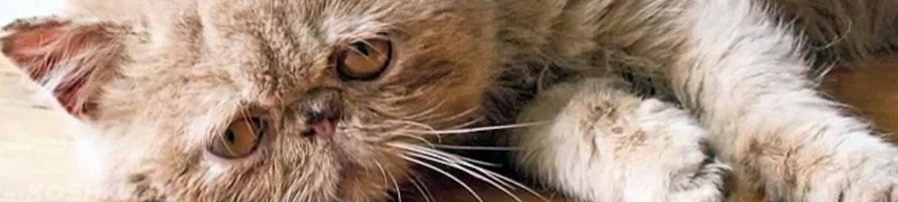 Кот страдающий от мочекаменной болезни