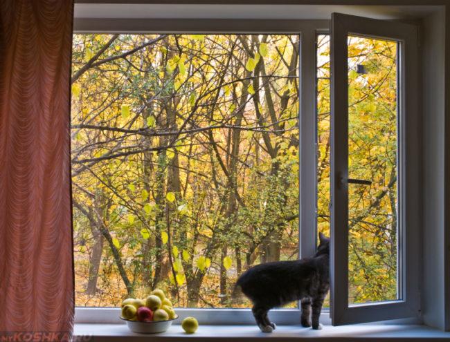 Серый кот стоит на подоконнике рядом с яблоками и смотрит в открытое окно