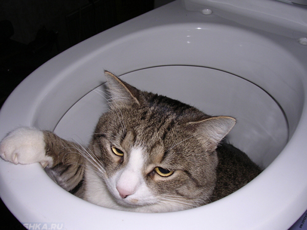 Кот сидит в унитазе