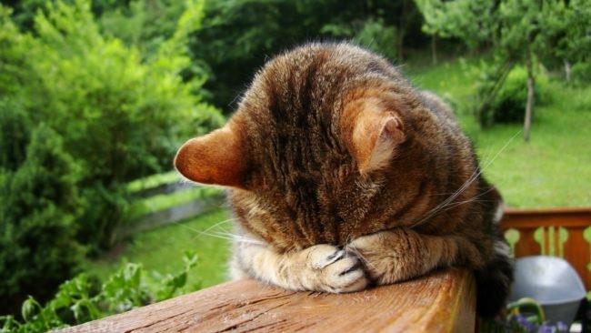 Серый полосатый кот закрыл глаза лапами