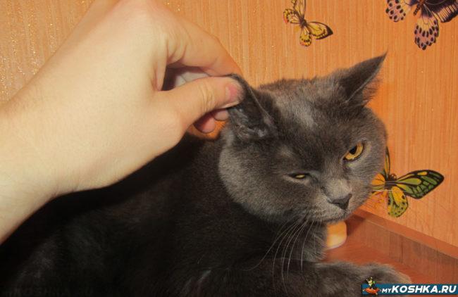 Хозяин воспитывает кота дергая его за ухо
