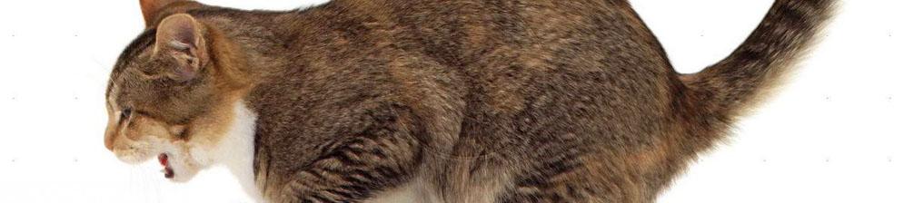 Кота вырвало на пол
