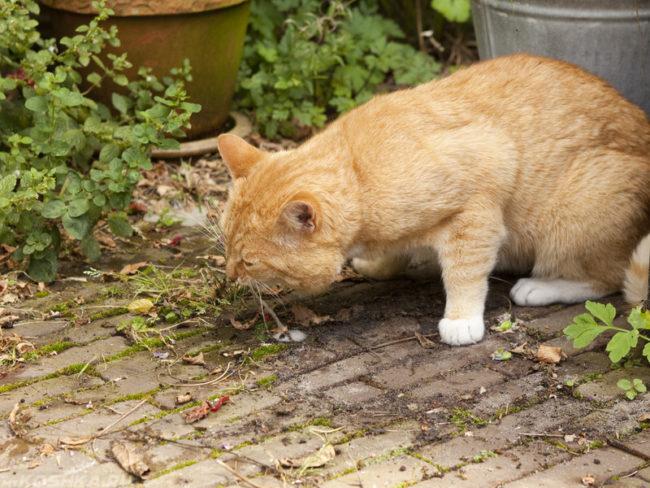 Рыжего кота тошнит на улице возле кустов