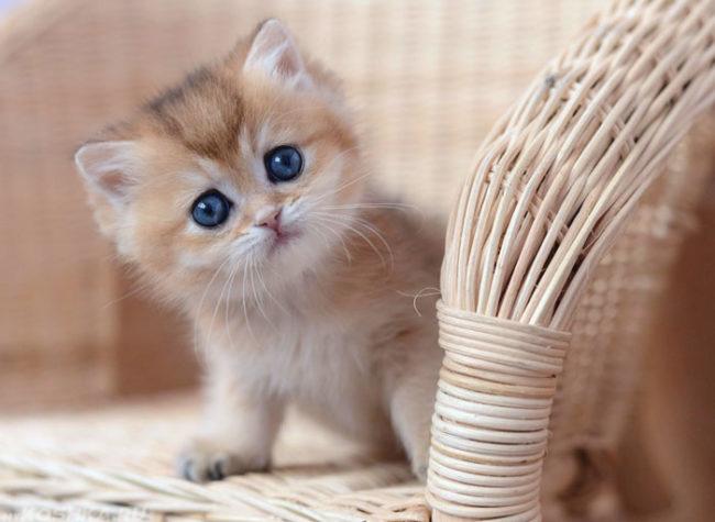 Пушистый котенок с голубыми глазами сидит на плетеном стуле