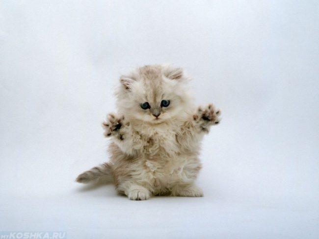Пушистый котенок с голубыми глазами стоит на задних лапках
